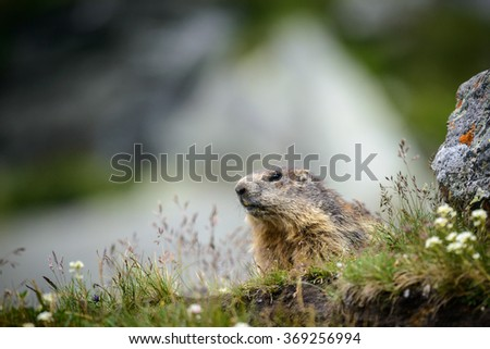 Alpine Marmot  in nature ,Hohe Tauern,Austria. - stock photo