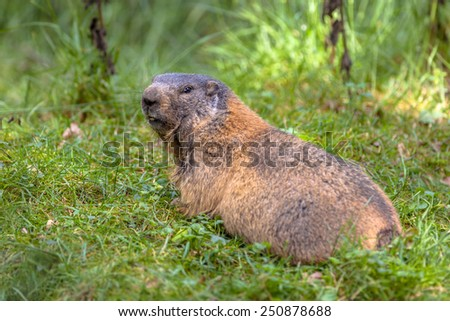 Alpine marmot (Marmota marmota) looking backward, This animal is found in mountainous areas of central and southern Europe - stock photo