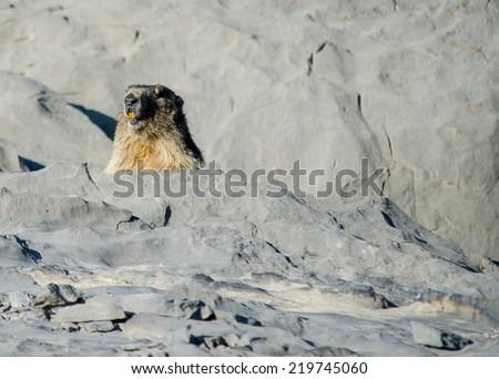 Alpine marmot. Wild animal lives in high mountains, Pyrenees. - stock photo