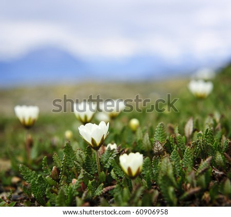 Alpine meadow with mountain avens flowers blooming in Jasper National Park, Canada - stock photo