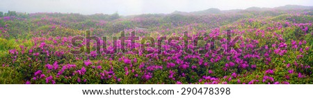 Alpine meadows in the spring, in May Chornogory decorated with bright beautiful mountain rododendronov- colors- pink scarlet roses purple, rising above the forest among the rocks, moss creeping shrubs - stock photo