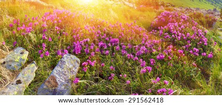Alpine meadows in the spring, in May Chornogory decorated with bright beautiful mountain rododendronov- colors- pink scarlet roses purple rising above the forest among the rocks, moss  creeping shrubs - stock photo