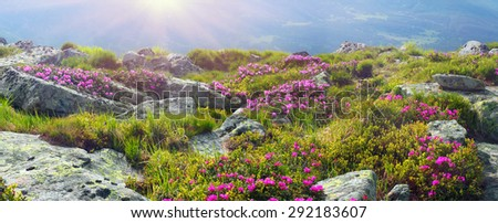 Alpine meadows in the spring, in May Chornogory decorated with bright beautiful mountain rododendronov- colors- pink scarlet roses purple, rising above the forest among the rocks, moss creeping shrubs