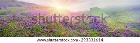 Alpine meadows in the spring, in May Chornogory decorated with bright beautiful mountain rododendronov- colors pink scarlet roses  purple rising above the forest among the rocks, moss  creeping shrubs - stock photo