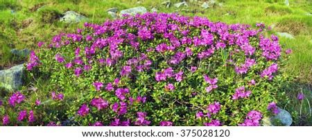 Alpine meadows in the spring, in May Chornogory decorated with bright beautiful mountain rododendronov colors pink scarlet roses  purple, rising above the forest among the rocks, moss  creeping shrubs - stock photo