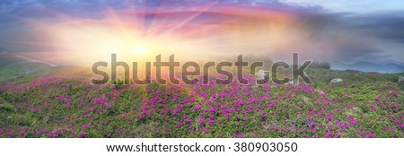 Alpine meadows in the spring in May Chornogory decorated with bright beautiful mountain rododendronov colors pink, scarlet roses purple rising above the forest among the rocks moss and creeping shrubs - stock photo