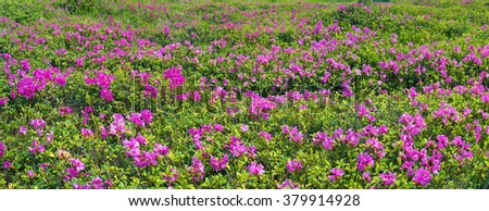 Alpine meadows in the spring, in May  decorated with bright beautiful mountain rododendronov- colors- pink, scarlet, roses and purple, rising above the forest among the rocks, moss and creeping shrubs - stock photo