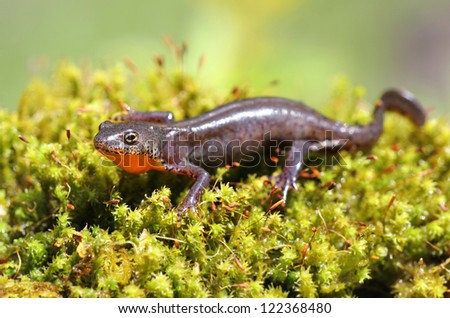 Alpine newt - protected species - on vivid green moss - stock photo