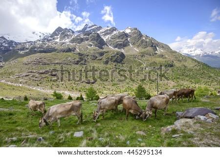 Alpine panorama with Cows - stock photo