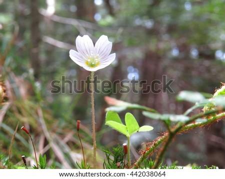 alpine plant, common wood sorrel, komiyamakatabami in nagano, Japan - stock photo
