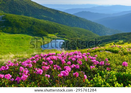 Alpine rose in summer mountains - stock photo
