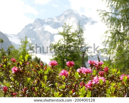 Alpine roses with glacier in the background - stock photo