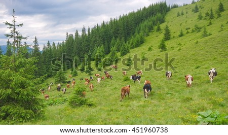 Alpine scenery with cows, leaving the pastures.. Mountain grassland with grazing cows in summer pasture. Cows on farm. Agricultural composition, Carpathians, Ukraine - stock photo