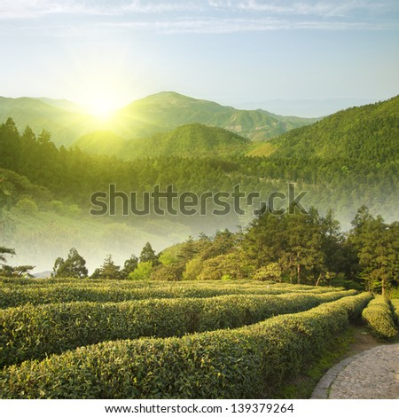 Alpine Sunrise tea plantations - stock photo