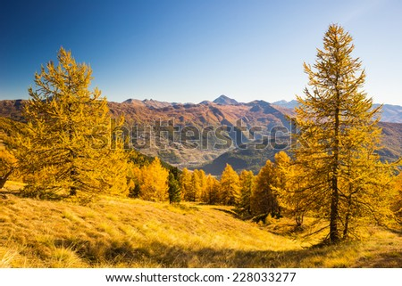 Alpine valley view in a colorful autumn with yellow larch trees, high mountain peaks and ski resort in the background. Wide angle shot in warm afternoon light.