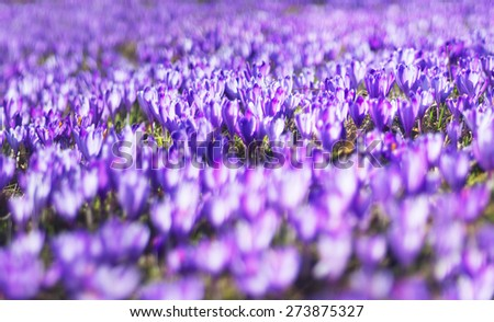 alpine villages and mountain meadows bloom beautiful carpet fantastic fabulous flowers - crocus shafrany.Oni born immediately after the snow in March and April and delight people look for their beauty