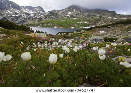 Alpine white, yellow flowers and rhododendron, and dramatic sky - stock photo