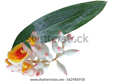 Alpinia zerumbet 'Shell Ginger' flower and Leaf isolated on white background - stock photo