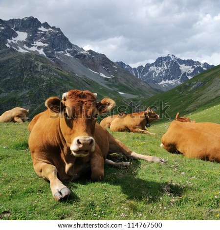 Alps cow - stock photo