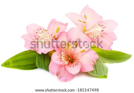 Alstroemeria flowers isolated on white - stock photo