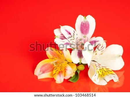 Alstroemeria flowers laid out on a glossy red background