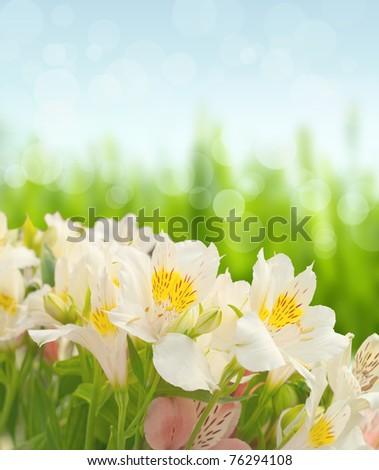 Alstroemeria flowers on light green background - stock photo