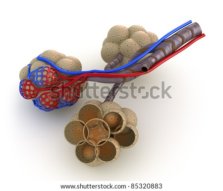 Alveoli in lungs - blood saturating by oxygen. isolated - stock photo