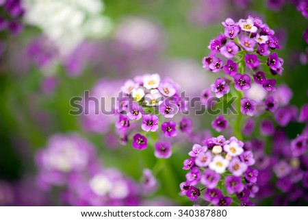 Alyssum Flowers - stock photo