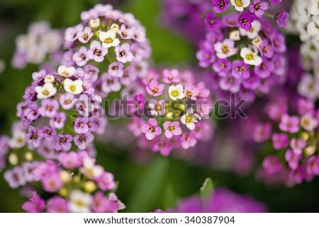 Alyssum Flowers - stock photo