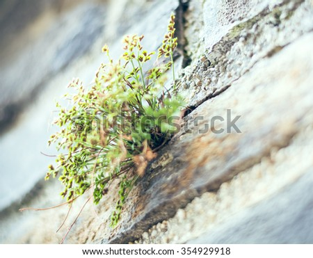 Alyssum grow against a wall