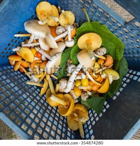 Amanita hemibapha, edible wild mushroom of tropical forest in the basket - stock photo