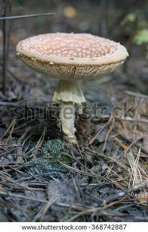 amanita in the forest