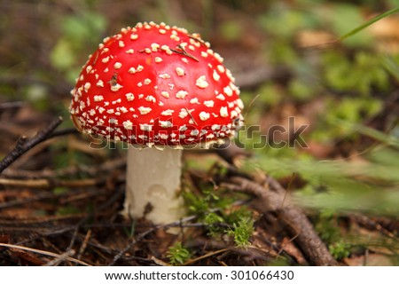Amanita muscaria, a poisonous mushroom in a forest - stock photo