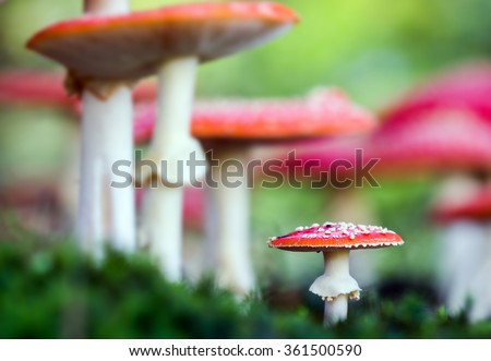 Amanita muscaria, a poisonous mushroom in a forest. - stock photo