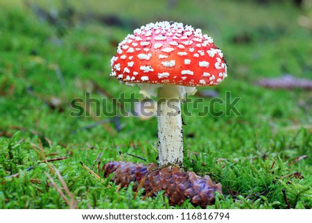 Amanita muscaria - growing in moss in the forest
