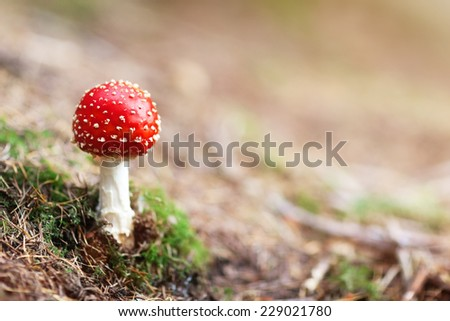 Amanita Muscaria mushroom in the forest with copy space - stock photo