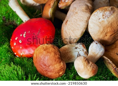 Amanita muscaria, poison mushroom in a bunch of edible fungus (porcini) on moss  - stock photo