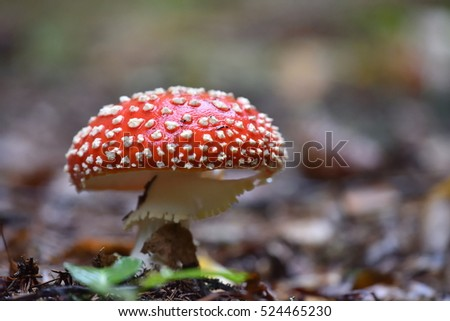 Amanita Muscaria,  poisonous mushroom in the wood