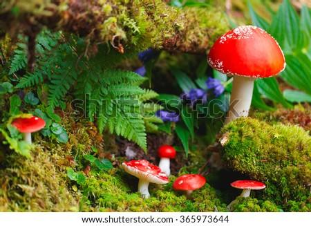 Amanita mushrooms in forest. - stock photo