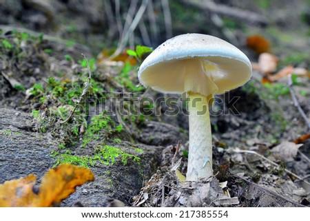 amanita phalloides  - stock photo