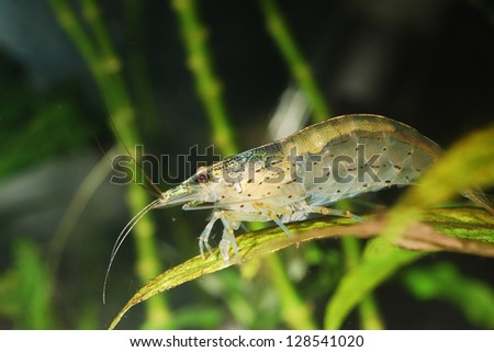 Amano shrimp close-up - stock photo