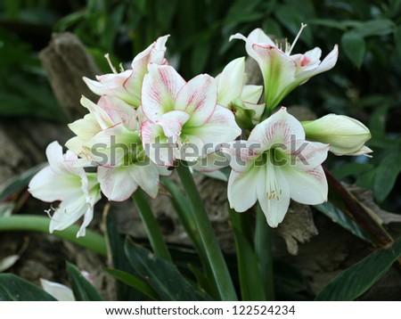 Amaryllis belladonna symbolism images for Signification amaryllis