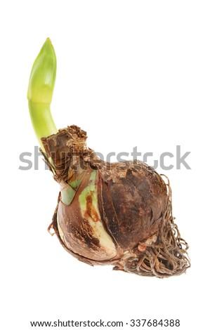 Amaryllis bulb with shooting flower bud isolated against white - stock photo