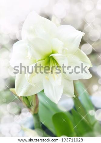 amaryllis flower and bokeh  - stock photo
