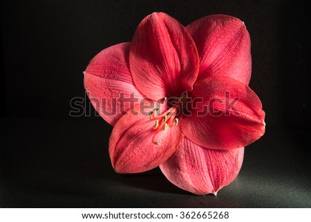 Amaryllis flower on dark background