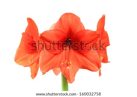 amaryllis flower on white background - stock photo