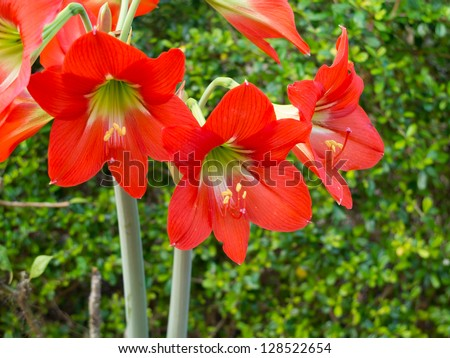 Amaryllis Hippeastrum flower in garden - stock photo