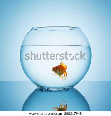 amazed goldfish swims in a fishbowl - stock photo