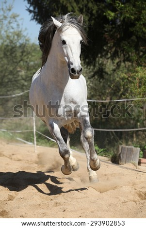 Amazign white andalusian stallion moving in spring