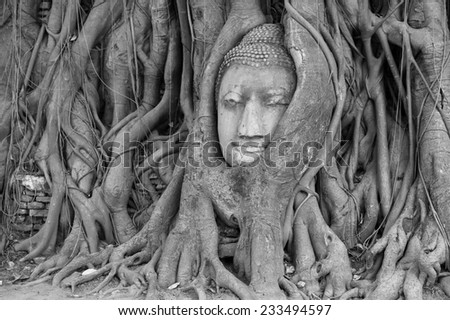 Amazing a Stone budda head traped in the tree roots Ayudthaya Thailand.